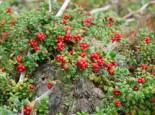 Sonstige Früchte - Preiselbeere 'Red Pearl', 15-20 cm, Vaccinium vitis-idaea 'Red Pearl', Containerware