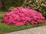 Japanische Azalee 'Kermesina', 25-30 cm, Rhododendron obtusum 'Kermesina', Containerware