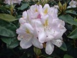 Rhododendron 'Gomer Waterer', 40-50 cm, Rhododendron Hybride 'Gomer Waterer', Containerware