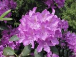 Rhododendron 'Roseum Elegans', 30-40 cm, Rhododendron Hybride 'Roseum Elegans', Containerware