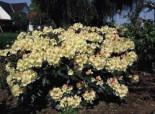 Rhododendron 'Flava', 25-30 cm, Rhododendron yakushimanum 'Flava', Containerware