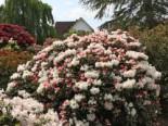 Rhododendron 'Edelweiß', 15-20 cm, Rhododendron yakushimanum 'Edelweiß', Containerware