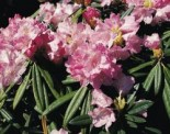 Rhododendron makinoi 'Silber'
