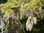 Blauregen / Weißer  Chinesischer Blauregen  'Alba' Wisteria sinensis 'Alba'
