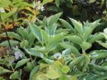 Buntlaubige Bauernhortensie 'Tricolor'  Hydrangea macrophylla 'Tricolor'