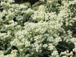 Freiflächen - Großes Perlkörbchen 'Neuschnee', Anaphalis margaritacea 'Neuschnee', Topfballen