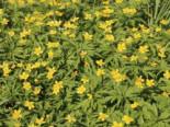 Unter Bäumen - Gelbblühendes Windröschen, Anemone ranunculoides, Topfballen