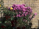 Stauden - Raublatt-Aster 'Barr's Pink', Aster novae-angliae 'Barr's Pink', Topfware