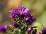 Stauden - Raublatt-Aster 'Purple Dome', Aster novae-angliae 'Purple Dome', Topfware