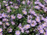 Stauden - Glattblatt-Aster 'Blütenmeer', Aster novi-belgii 'Blütenmeer', Topfware