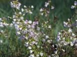 Freiflächen - Wiesen-Schaumkraut, Cardamine pratensis, Topfballen
