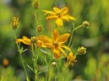 Quirlblättriges Mädchenauge, Coreopsis verticillata, Topfballen