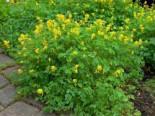 Steingarten - Gelber Lerchensporn, Corydalis lutea, Topfballen