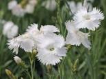 Steingarten - Feder-Nelke 'Albus', Dianthus plumarius 'Albus', Topfballen