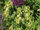 Fingerhut (Großblütiger) Digitalis grandiflora