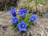 Steingarten - Großblumiger Frühlings-Enzian, Gentiana acaulis, Topfballen