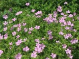 Oxford Garten Storchschnabel 'Rose Clair', Geranium x oxonianum 'Rose Clair', Topfware