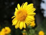 Stauden - Stauden-Sonnenblume 'Meteor', Helianthus decapetalus 'Meteor', Topfballen