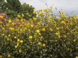 Kleinblumige Sonnenblume, Helianthus microcephalus, Topfware