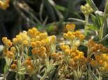 Steingarten - Strohblume 'Goldkind', Helichrysum thianshanicum 'Goldkind', Topfballen