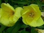 Freiflächen - Zweijährige Nachtkerze, Oenothera biennis, Topfware