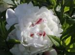 Asiatische Edel-Pfingstrose 'Festiva Maxima', Paeonia lactiflora 'Festiva Maxima', Topfware