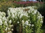 Flammenblume 'Mrs Lingard', Phlox maculata 'Mrs Lingard', Topfware