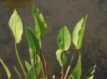 Lebensraum Wasser - Gewöhnlicher Froschlöffel, Alisma plantago-aquatica subsp. plantago-aquatica, Topfballen
