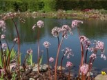 Lebensraum Wasser - Schildblatt, Darmera peltata, Topfballen