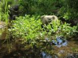 Lebensraum Wasser - Fieberklee, Menyanthes trifoliata, Topfballen