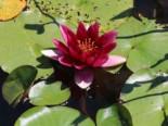Lebensraum Wasser - Seerose 'Froebeli', Nymphaea x cultorum 'Froebeli', Topfballen