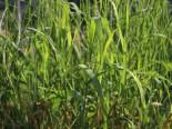 Gräser - Pfahlrohr, Arundo donax, Topfballen