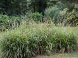 Gräser - Riesen Wald Segge, Carex pendula, Topfballen