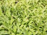 Gräser - Immergrüne Breitblatt Segge, Carex plantaginea, Topfballen