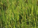 Gräser - Wald Segge, Carex sylvatica, Topfballen