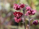 Stauden - Gefüllte Akelei 'Ruby Port', Aquilegia vulgaris 'Ruby Port', Topfballen