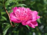 Asiatische Pfingstrose 'Amabilis', Paeonia lactiflora 'Amabilis', Topfware