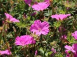 Steingarten - Blut-Storchschnabel 'Ankum's Pride', Geranium sanguineum var. striatum 'Ankum's Pride', Topfballen