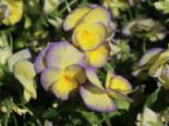 Horn Veilchen 'Etain', Viola cornuta 'Etain', Topfware