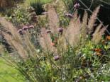 Gräser - Diamant-Reitgras, Calamagrostis brachytricha, Containerware