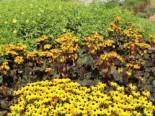Gehölzrand - Strauß-Goldkolben 'Britt-Marie Crawford' ®, Ligularia dentata 'Britt-Marie Crawford' ®, Topfballen