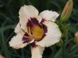 Hemerocallis x cultorum 'Canadian Border Patrol'