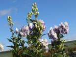 Stauden - Herbst-Eisenhut 'Cloudy', Aconitum carmichaelii 'Cloudy', Topfware