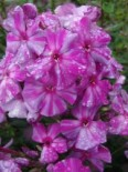 Phlox paniculata 'Autumn Joy'
