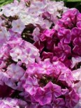 Phlox paniculata 'Freckles Purple Shades'