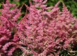 Gehölzrand - Prachtspiere 'Younique Pink', Astilbe japonica 'Younique Pink' ®, Containerware