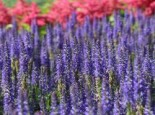 Veronica spicata 'Royal Candles Glory'
