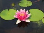 Lebensraum Wasser - Seerose 'Laydeckeri Lilacea', Nymphaea x cultorum 'Laydeckeri Lilacea', Topfballen