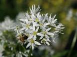 Kräuter- und Teepflanzen - Bärlauch, Allium ursinum, Topfware
