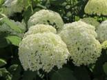 Blütensträucher und Ziergehölze - Ballhortensie 'Annabelle', 20-30 cm, Hydrangea arborescens 'Annabelle', Topfware